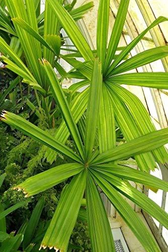 ASTONISH Pacchetto semi: Licua - Mangrove Fan Pm - 20 Semi