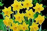 Carlton Daffodil , Bulb (10 Bulb) Daffodil , Stunning Blooms with Deep Golden Yellow Petals