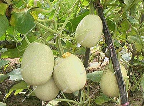 Graines de citrouille Cucurbita fil d'or fruits citrouille melon et légumes des semences meilleures ventes de l'extérieur, Bonsai 30 Plantes en pot 6 pièces