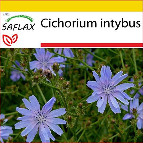 SAFLAX - Anzucht Set - Heilpflanzen - Wegwarte - 250 Samen - Mit Mini-Gewächshaus, Anzuchtsubstrat und 2 Töpfen - Cichorium intybus