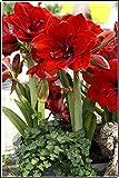 Bulbos Amarilis,Adecuado Para Plantar Al Aire Libre,El Patio Está Plantado Con Apariencias Brillantes Y Deslumbrantes Y Posturas Elegantes.-4 Bulbo,2