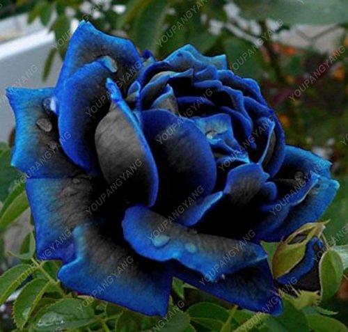 100pcs 20 sortes de graines Rose So Black Rose Charme Bonsai Graines de fleurs vivaces rares fleurs des plantes pour jardin Violet
