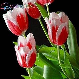 Green Seeds Co. 50 piezas flor de alto grado bonsai jardín tulipán bonsai balcón olla más hermosa * plantas de colores bonsai no flor: negro