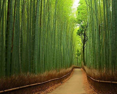Semences de 100 (bambou) Giant Bamboo, Phyllostachys pubescens