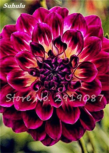 50 Pcs rares Graines Bonsai Dahlia (non Dahlia Bulbes) Mixte magnifique Fleurs chinois Balcon Plante en pot Maison et Jardin 7