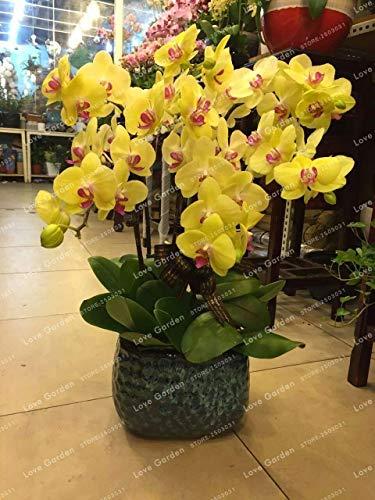 Vistaric Phalaenopsis Semillas Plantas Perennes Con Flores En Maceta Orquídeas Encantadoras Semillas Plantas Naturales Para...