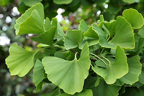 Ginkgo biloba Fächerbaum - 10 Samen