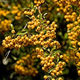 Potted Hardy Plant Pyracantha, Hardy Evergreen Shrub Firethorn with Yellow Autumn Berries for Gardens & Outdoors, 1 x Pyracantha Soleil d'Or Plant in a 2 Litre Pot by Thompson & Morgan