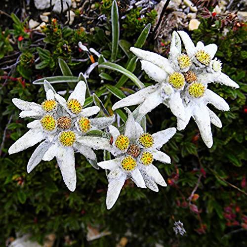 AchidistviQ 50 Stück Weiß Edelweiß Samen Einfach Zu Pflanzen Winterharte Mehrjährige Blumensamen Zierblume Garten Hof Büro Bonsai Dekor Edelweißsamen
