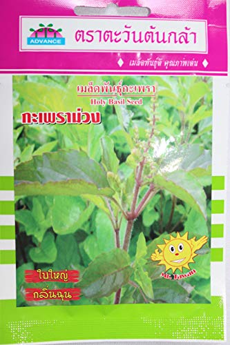 ScoutSeed HOLY BASIL Semillas Hot Thai Vegetable Herb Summer Garden, Reino Unido Vendedor