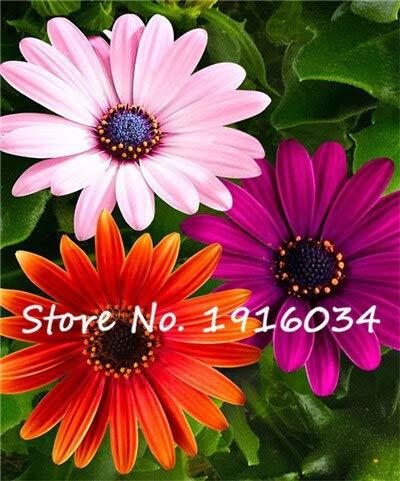 13: Neue Ankunft 80 Stücke Gerbera Daisy Hybrids Mehrjährige Blumensamen Bonsai Pflanzen Einfach Zu Wachsen Samen Für Hausgarten Topfpflanze