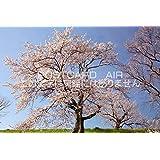 愛知県 一宮市 木曽川堤の桜のポストカード葉書はがき Photo by絶景.com