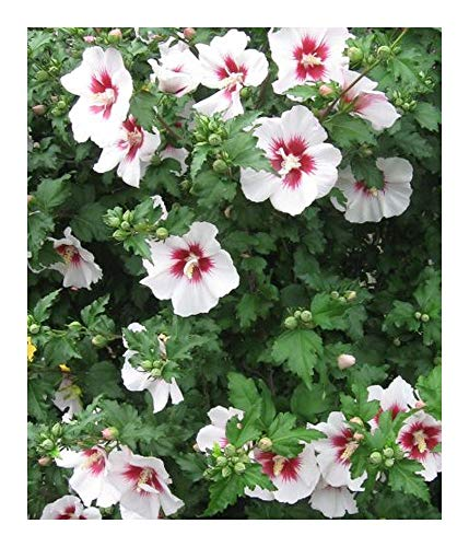 Hibiscus syriacus China Chiffon - Althéa - 10 graines
