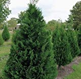 Murray Cypress Tree - Live Plant - Trade Gallon Pot