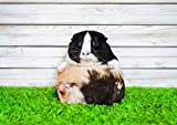 Destination #16771 Vinyl-Poster, Motiv: Meerschweinchen,