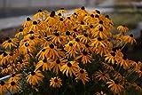 Gelber Sonnenhut (Rudbeckia fulgida' Goldsturm')