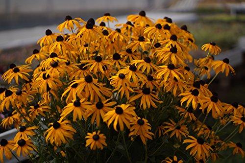 "Gelber Sonnenhut (Rudbeckia fulgida"" Goldsturm"")"