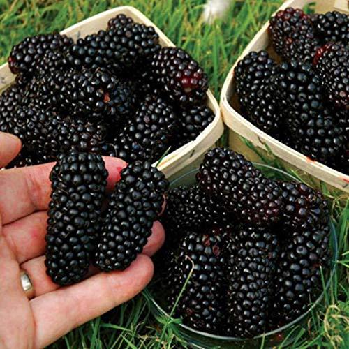 Ultrey Samenshop - Bio Maulbeere Baum Samen Zuckerbrombeere Riesen Brombeere Blackberry Strauch Frucht mehrjährig winterhart für Garten Balkon/Terrasse
