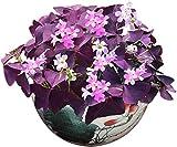 Lila Shamrock Zwiebeln 10+ Bio dreieckige Glücksgras Klee Oxalis Holz Sauerampfer Blumenpflanzen Einfach zu züchten...