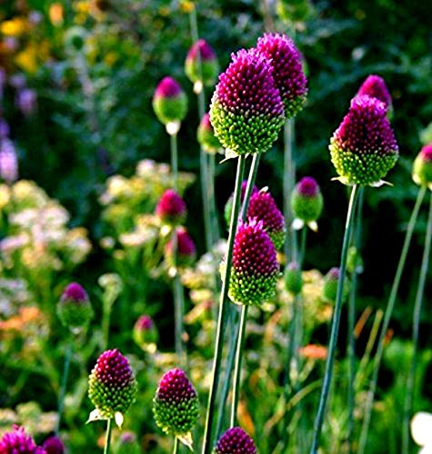 25 Allium Drumstick Bulbs for Planting - Exotic Blooming Onion - Beautiful Spring Flowers