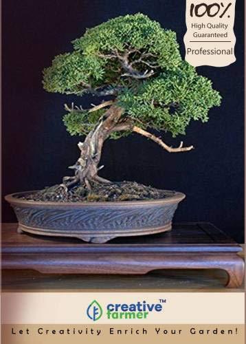 FERRY Hohe Wachstum Seeds Nicht NUR Pflanzen: Seed Mexikanische Sumpfzypresse Bonsai Seed (10 pro Paket)