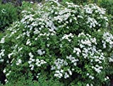 Spiraea, Flowering Spirea Shrub (3 Pack (5'), Halward's Silver- White)