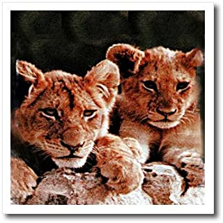 3dRose ht_600_3 African Lion Cubs Iron on Heat Transfer for White Material, 10 by 10-Inch