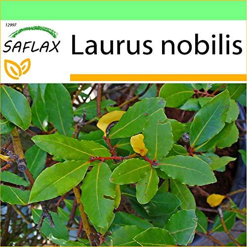SAFLAX - Laurel de Apolo - 6 semillas - Laurus nobilis
