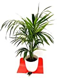 KENTIA, KENZIA, IN VASO CERAMICA, altezza 130-150 pianta vera