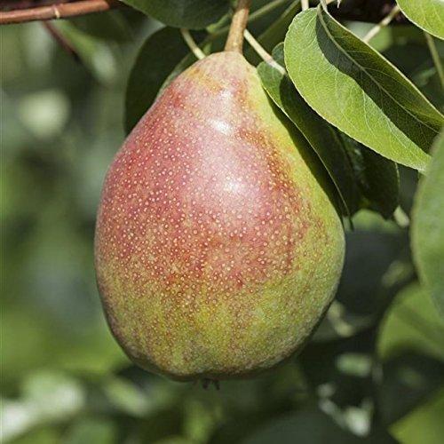 Birnen Baum 'Clapps Liebling' Pyrus com. Birnenbaum im 7,5L Topf 150-200cm winterharter Obstbaum
