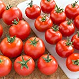 Tomato Plants - Gardener's Delight - 12 x Plug Plant Pack