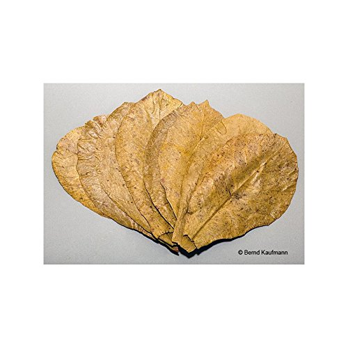 aquamax 10 hojas de almendro indio.