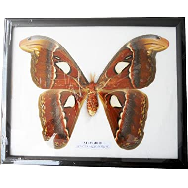 REAL VERY BIG SIZE ATLAS MOTH FRAMED DISPLAY INSECT TAXIDERMY SIZE 11 X9 X1
