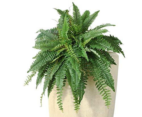 kunstpflanzen-discount.com Königsfarn Riesenversion mit 38 Blattzweige Durch. 80cm - Künstliche Farn Pflanze ideal für füllige Raumdekorationen
