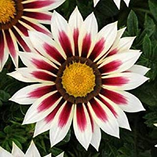 Risalana 30+ Gazania New Day RED Stripe Flower Seeds/Drought-Tolerant RESEEDING Annual