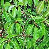 Wilder Wein 'Engelmannii' - Schnellwachsende Kletterpflanze