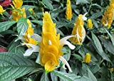 Golden shrimp plant a subtropical soft stemmed evergreen shrub 36 inches tall .: Pachystachys lutea (English Edition)