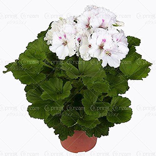 100pcs/sac de graines de géranium Rare panaché Géranium jardin d'hiver en pot graine fleur pour bonsaï pour le jardin de la maison 10