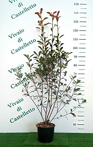 Photinia x Fraseri Red Robin Photinia COMPATTA vaso 20 altezza 110/130 CM