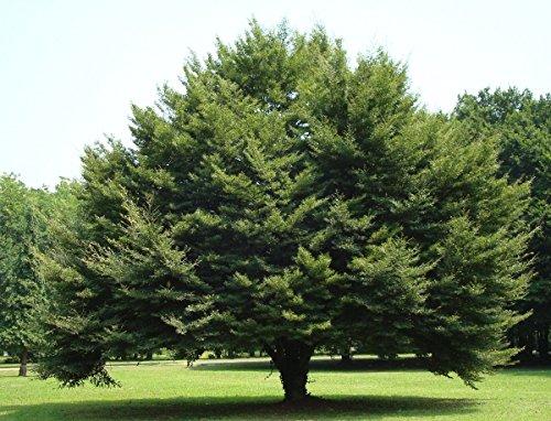 Baum des Jahres 1990 - Rotbuche im Container Größe 125 bis 150 cm