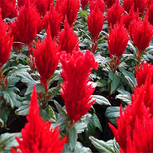 vegherb 30 Celosia Samen, Zimmerpflanzen Blumen Neue Ankunft DIY Hausgarten-Blumen-Pflanzen-Samen der Hoffnung