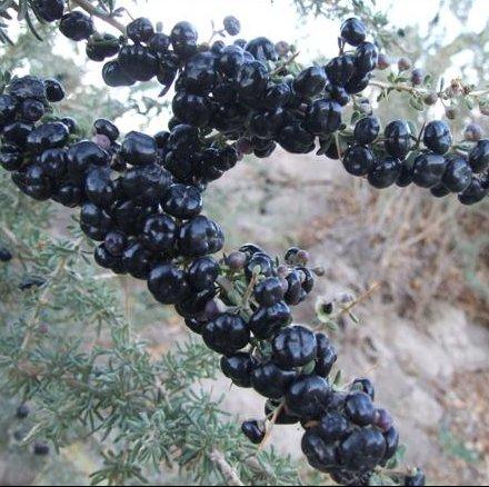 Assortiment 9 Graines herbe culinaire (2300 graines) Cuisson Herbes-Persil Oignon Céleri Basil Dill Leek Sage Cumin