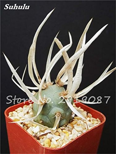 Graines réelles Mini Cactus 100 Pcs Mixed Rare Succulent fleurs Bonsai vivace herbes plantes pour plantes d'intérieur facile pousser dans des pots 20