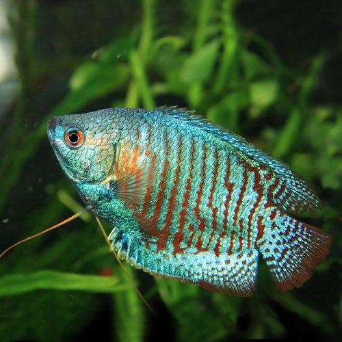 (熱帯魚)ネオンドワーフグラミー (約4cm)(1ペア)[生体]