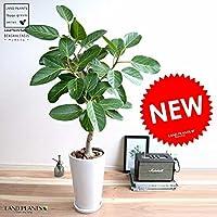 LAND PLANTS 観葉植物 ベンガレンシス(自然樹形) 白色 トール 陶器鉢 (スリム型) 鉢植え 大型
