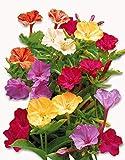 25 graines Fleurs - BELLE DE NUIT - Mirabilis jalapa
