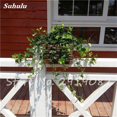 Pearl Chlorophytum Seeds 100 Pcs Hanging type de pot Chlorophytum Plantes fleuries Accueil Air frais intérieur Jardin résistant au froid 16