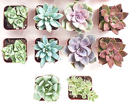 Shop Succulents | 10 Pack Live...
