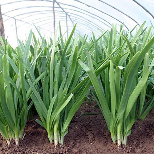 Große Blätter Knoblauch Schnittlauch Samen 5g Über 1000 + Lauch Knoblauchblätter Bio-Kräutergemüse Premium Samen zum Pflanzen Garten Outdoor Farm