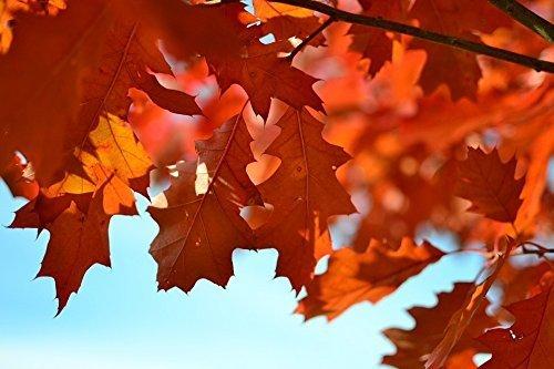 Tree seeds Online - Quercus Robur, Inglés Roble 5 calor tratado semillas - 10 Paquete